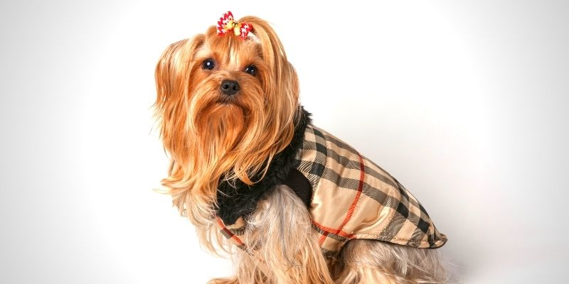 brown fur dog wearing striped tank tops dog outfit