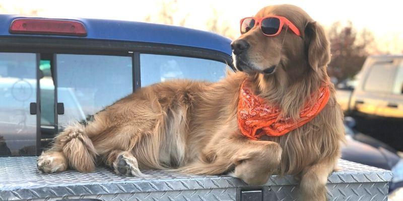 brown dog wearing orange sunglasses and bandana