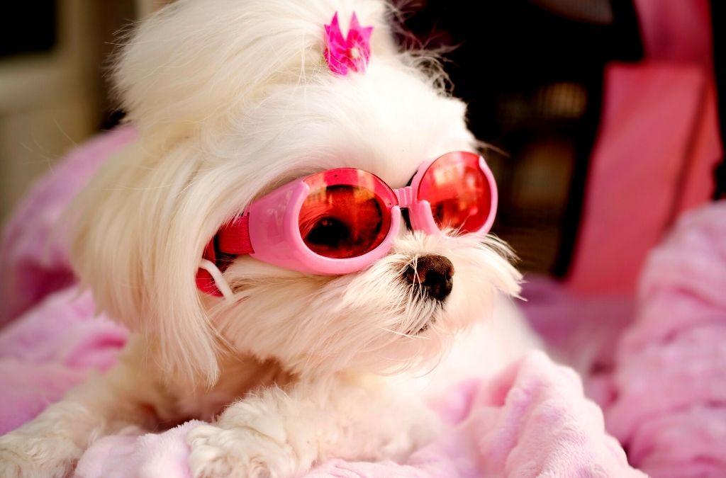 white fur dog wearing pink sunglasses for pet fashion